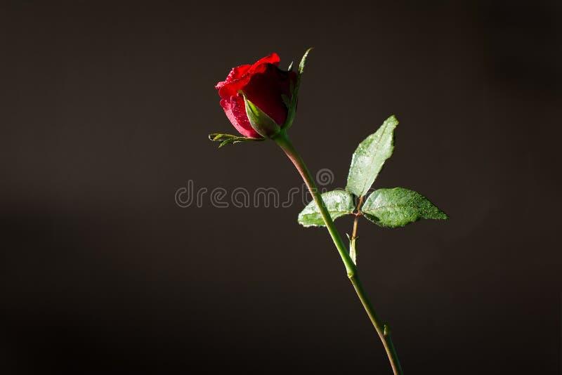 Rotrose und -sonne beleuchten auf dunklem Hintergrund lizenzfreie stockfotos