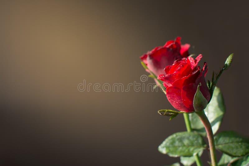 Rotrose und Sonnenlicht lizenzfreie stockfotografie