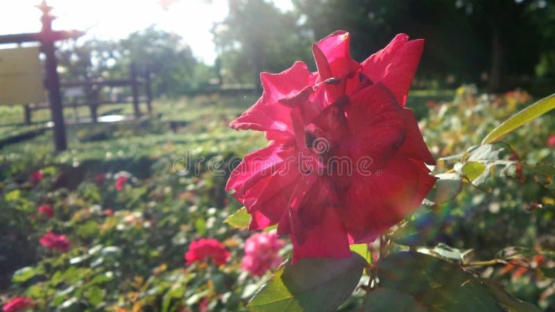Rotrose undrer Sonnenlicht lizenzfreie stockbilder