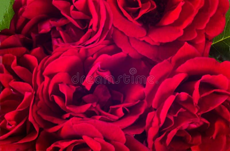 Rotrosen-Blumenanordnung lizenzfreie stockfotos