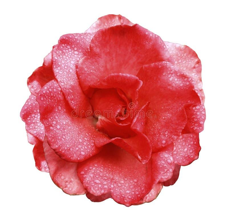 Rotrosenblume auf Weiß lokalisierte Hintergrund mit Beschneidungspfad keine Schatten Rose mit Wassertropfen auf den Blumenblätter lizenzfreies stockfoto