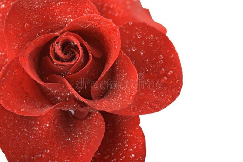 Rotrosenblume mit den Tropfen des Taus lokalisiert auf weißem Hintergrund lizenzfreies stockbild