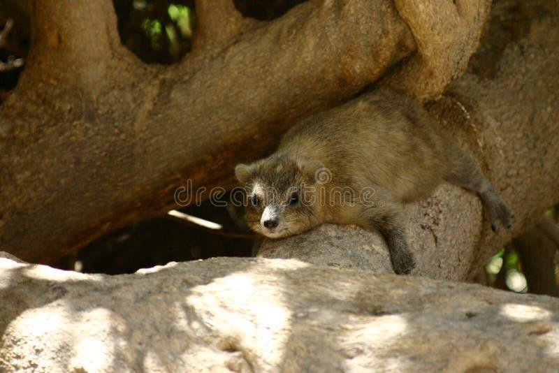 Rots hyrax royalty-vrije stock fotografie