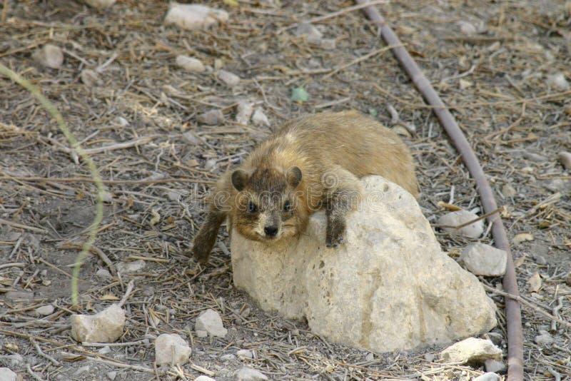 Rots hyrax stock foto's