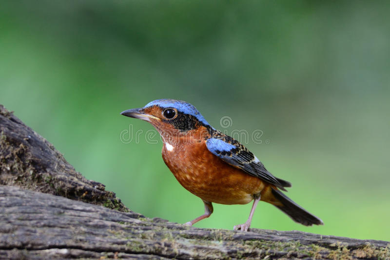 Rots-Lijster wit-Throated stock foto