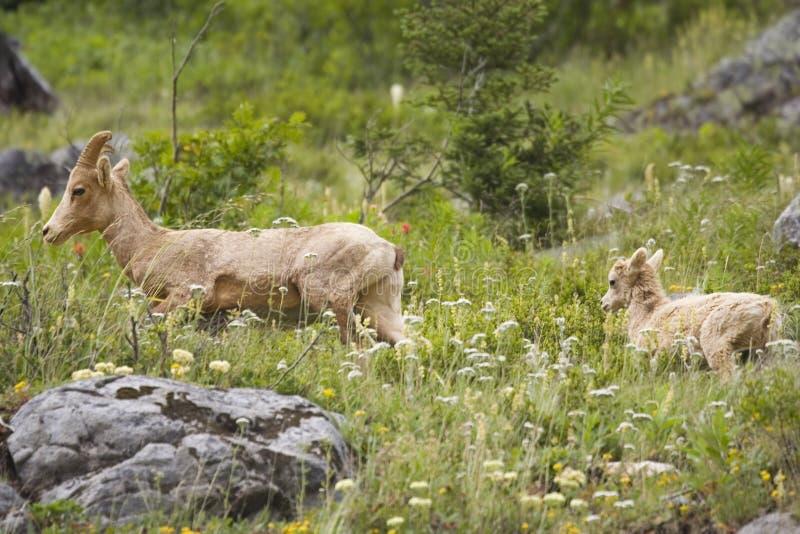 Rotsachtige berg zij-geit met een jong geitje stock afbeeldingen