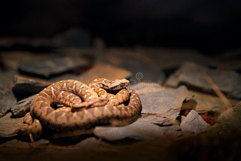 Rotsadder, Montivipera-xanthina, Ottomane kustadder in aardhabitat Het wildscène van aard Slang bij rotsachtige berg hab royalty-vrije stock afbeelding