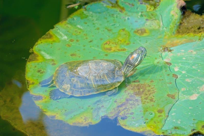 Rotschildkröte lizenzfreies stockfoto