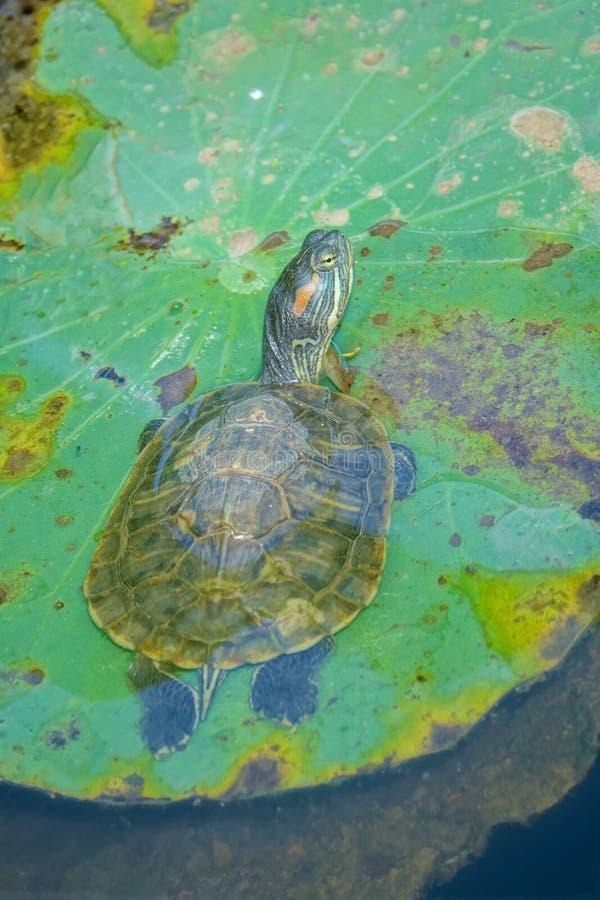 Rotschildkröte stockbild