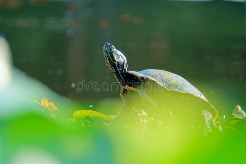 Rotschildkröte stockfotografie