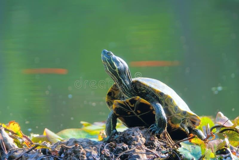 Rotschildkröte lizenzfreie stockbilder