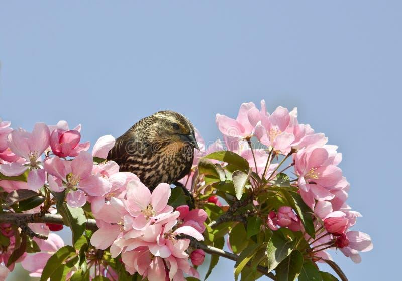 Rotschulterstärling in den rosa Blumen stockfotos