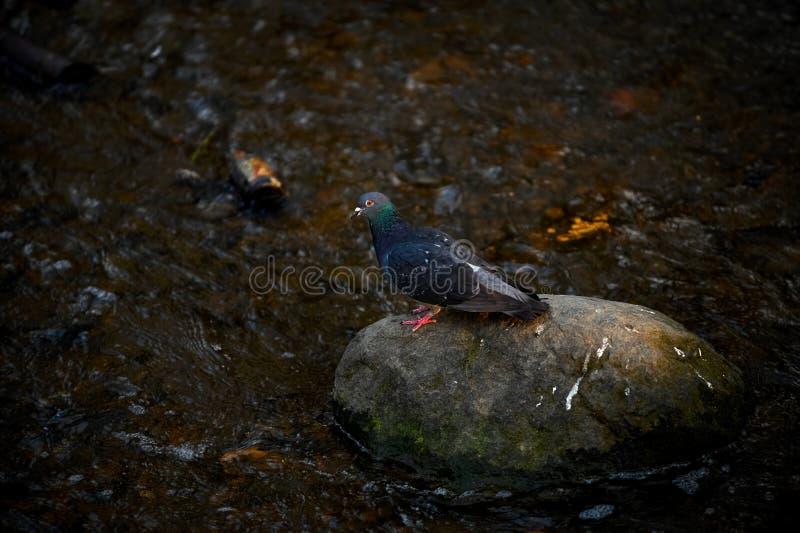 Rotsduif of de gemeenschappelijke vogel van duifcolumba livia op steen in rivier royalty-vrije stock foto
