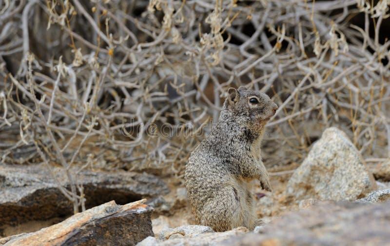 Rotseekhoorn in de Sonoran-Woestijn royalty-vrije stock afbeeldingen
