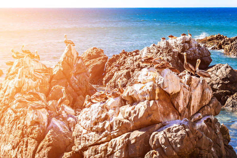 Rotsen met bruine pelikanen in Chili stock afbeelding