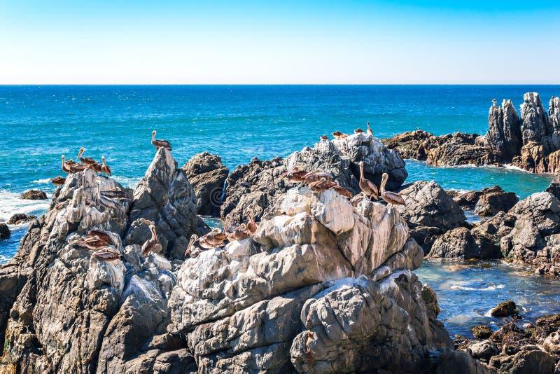Rotsen met bruine pelikanen in Chili stock foto