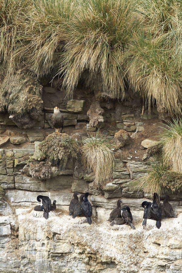 Rotspluizig laken die op een klip nestelen - Falkland Islands stock foto's
