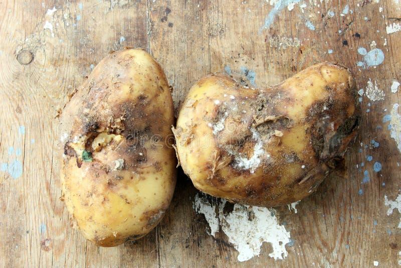 Rotte aardappel royalty-vrije stock afbeeldingen
