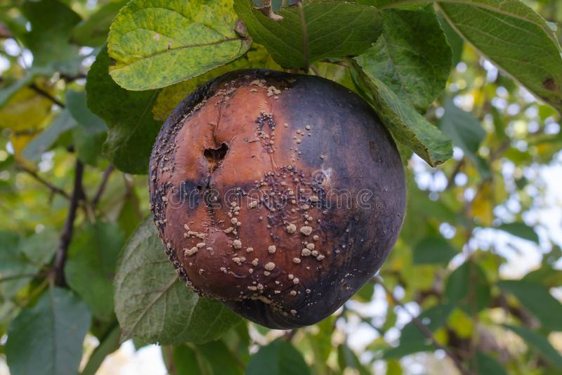 Rotte appel met een vorm op een appelboom stock foto's