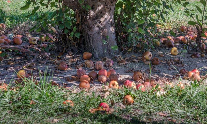 Rotte appelen onder een appelboom stock afbeelding