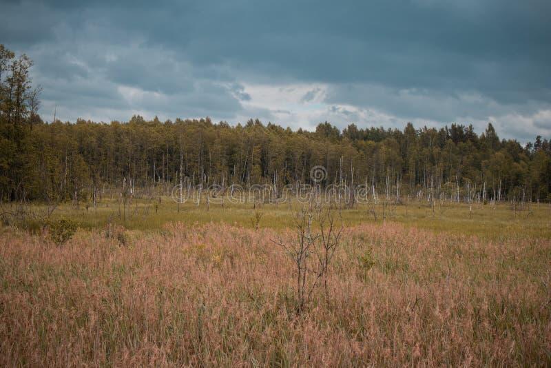 Rotte berkboomstammen op het gebied met het bos in de achtergrond en de blauwe hemel De duisternis en dramatisch ziet eruit stock foto's