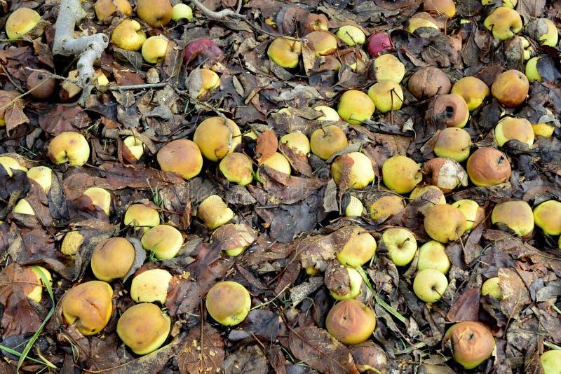 rotte gevallen appelen in een boomgaard royalty-vrije stock afbeeldingen