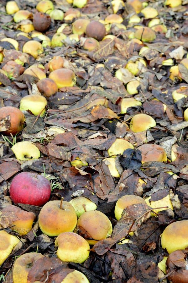 rotte gevallen appelen in een boomgaard stock foto