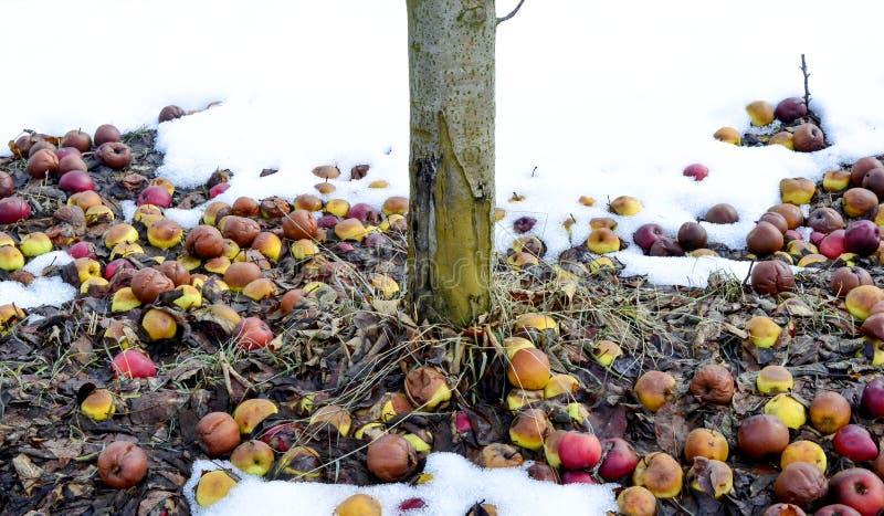 rotte gevallen appelen in een boomgaard in de winter, beeld royalty-vrije stock afbeelding