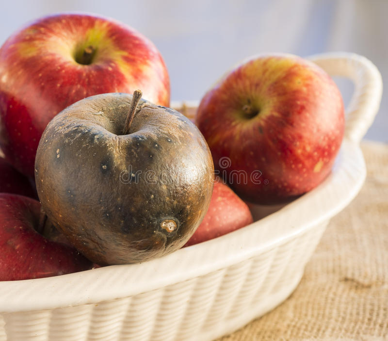 Rotten apple. In a ceramic basket with other healthy apples stock images