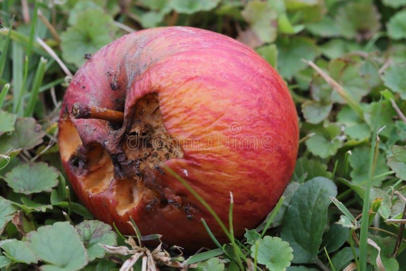 Rotten apple on ground royalty free stock photo