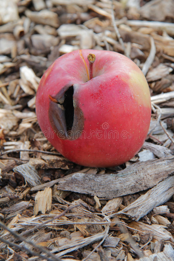 Rotten Apple Laying on Mulch stock images