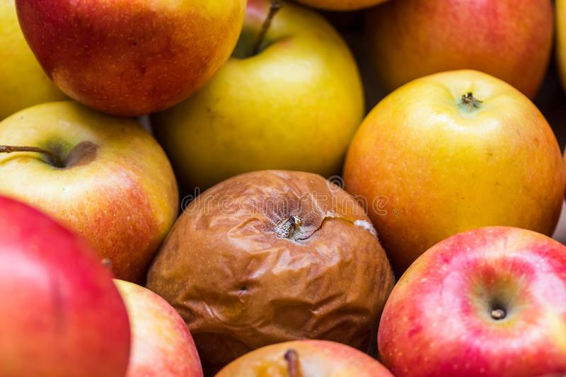 A rotten Apple among the other fresh apples. Close up stock photo