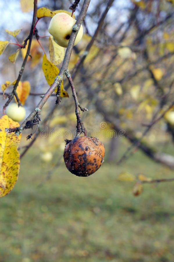 Rotten apple on a tree. Bad fruit concept background royalty free stock photography