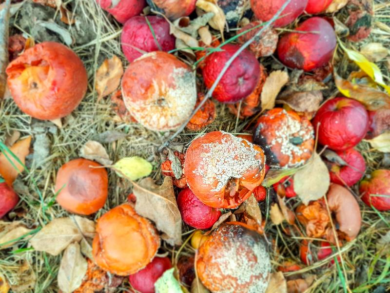 Rotten apples. With areas of mold on the ground royalty free stock photography