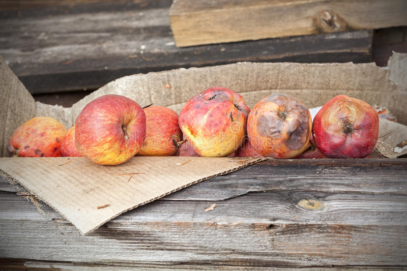 Rotten apples in carton on wooden boards.  stock image
