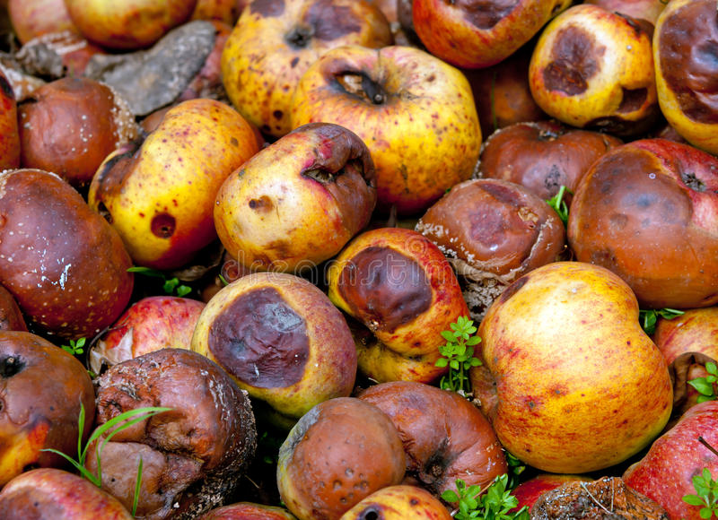 Rotten apples. A rotten apples close up royalty free stock photography