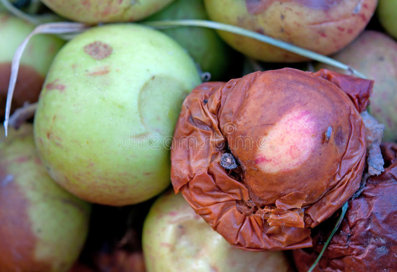 Rotten apples. A rotten apples close up royalty free stock photos