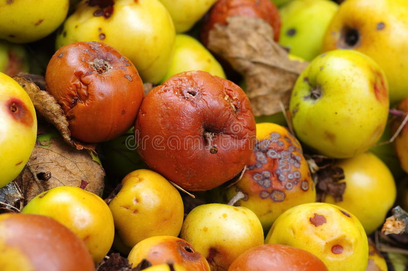 Rotten apples stock photography