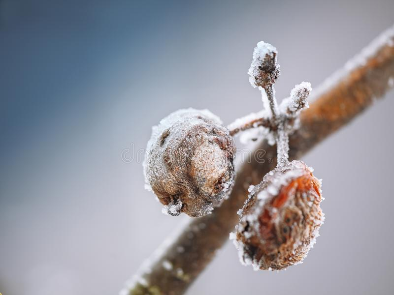 Rotten apples covered with frost at sunset. Shallow depth of field stock photos