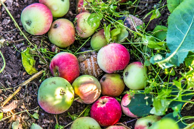 The rotten apples fallen on the ground. A lot of rotten spoiled apples, lying on the ground. Among them are some ripe fresh apples royalty free stock photos
