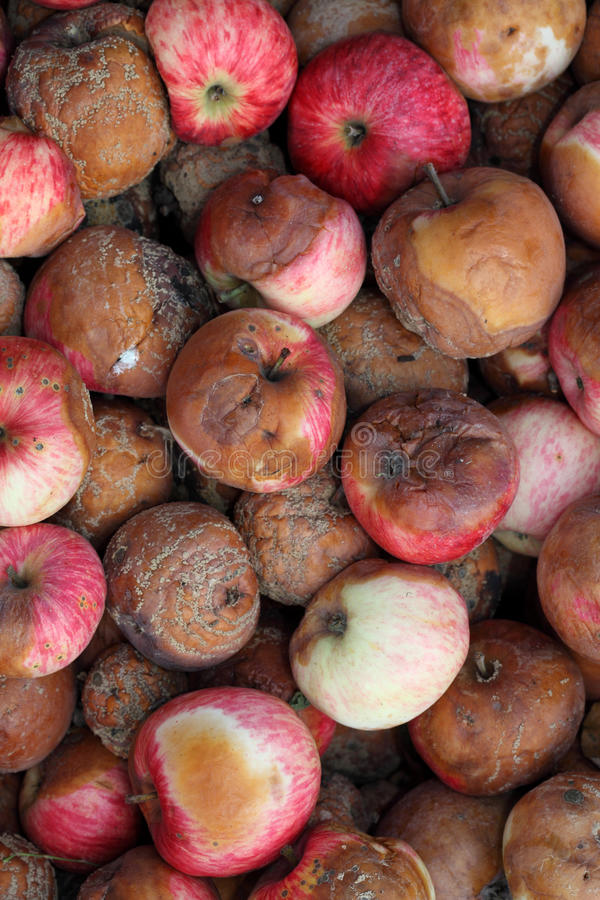 Rotten Apples. Full frame. Close-up stock image