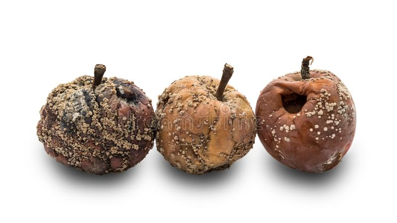 Rotten apples with fungus royalty free stock photo