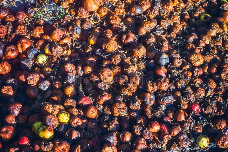 Rotten Apples on the ground royalty free stock images
