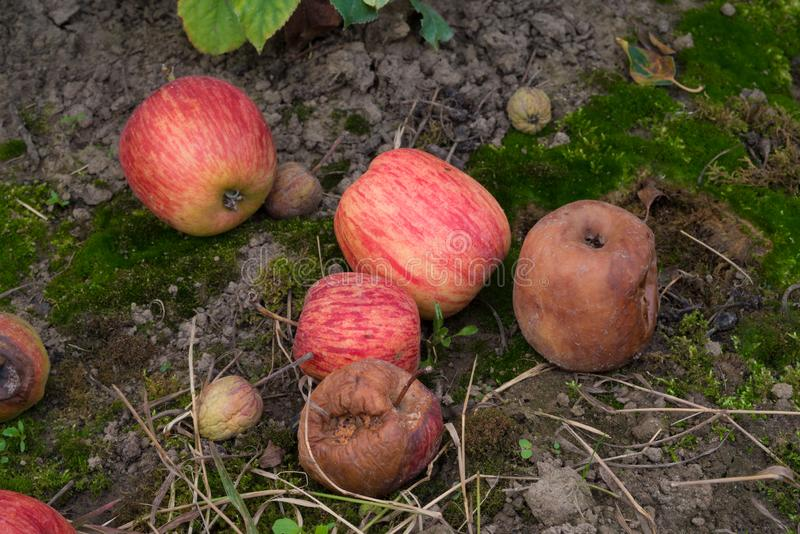 Rotten apples on the ground. Fallen and rotten elstar apples in an orchard royalty free stock images
