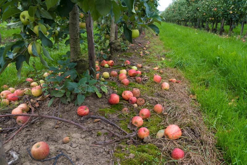 Rotten apples on the ground. Fallen and rotten elstar apples in an orchard royalty free stock image