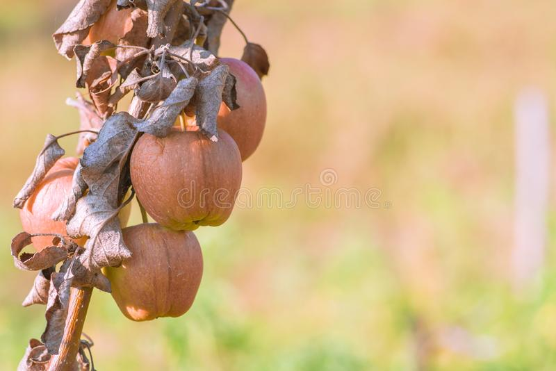 Rotten apples hanging from the branches of the tree stock image
