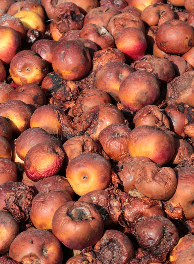 Rotten apples. Icture of a Rotten apples.organic pollution concept royalty free stock photo