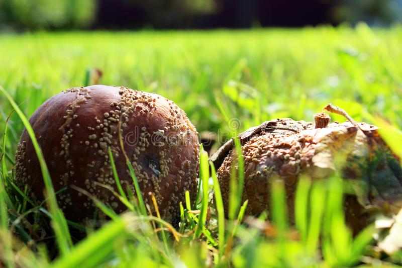 Rotten apples lie on the grass stock photography
