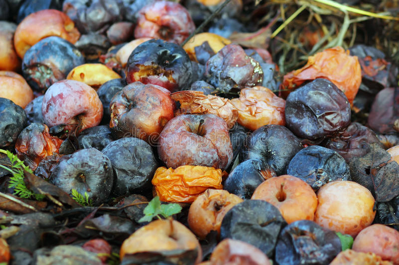 Rotten apples. Many rotten apples lie on the ground royalty free stock photos