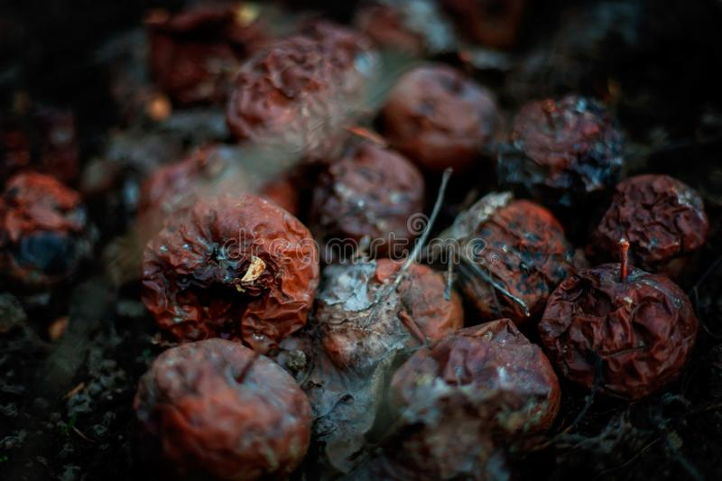 Rotten apples. Organic pollution, picture of a rotten apples stock photos